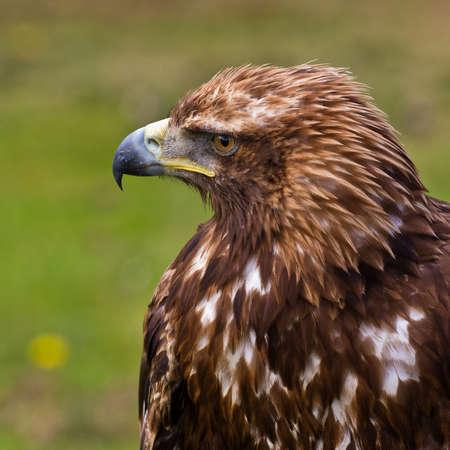 chrysaetos: Golden eagle, aquila chrysaetos portrait. Background blurred Stock Photo