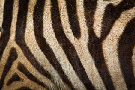 spotted fur: Pattern of zebra skin useful for background Stock Photo