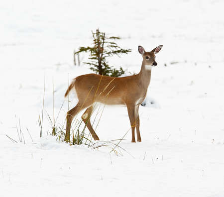 virginianus: White-tailed deer, odocoileus virginianus in the snow, Banff National Park, Alberta, Canada Stock Photo