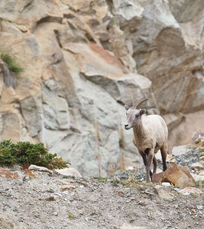 ovis: Bighorn sheep, ovis canadensis  Stock Photo