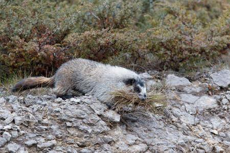 hoary: Hoary marmot, marmota caligata