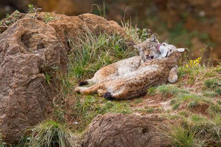 lince: Dos linces euroasiáticos en el amor en un parque de vida silvestre