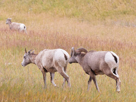 Three bighorn sheeps, ovis canadensis in  Jasper National Park, Alberta, Canada Stock Photo - 10443646