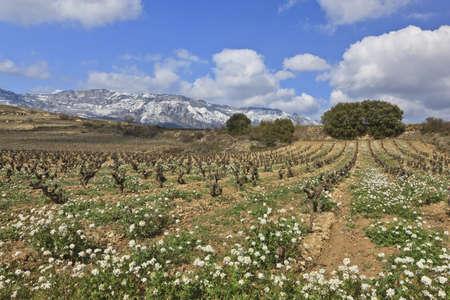 alava: Fields of vineyards in La Rioja, Spain