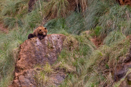ursus: One brown bear, ursus arctos resting on the rock