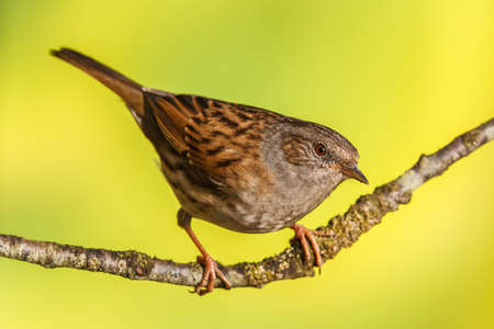 prunella: Dunnock, Prunella modularis on a branch. Shallow depth of field and bakground blurred
