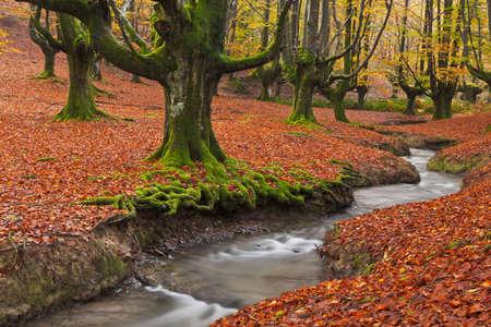 De vallende bladeren kleuren de herfst seizoen in het bos. Otzarreta beukenbos, Natuurpark Gorbea, Bizkaia, Spanje