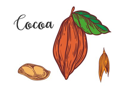 Chocolate cocoa beans illustration. Engraved style illustration