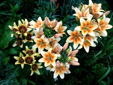 Bushy lily