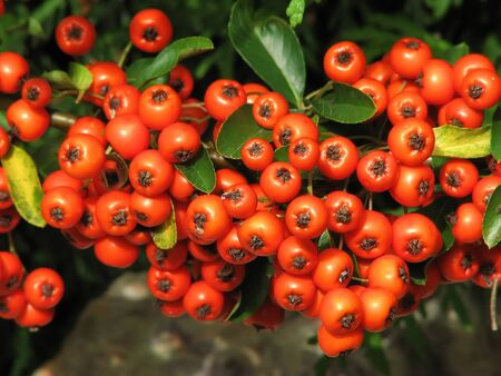 Holly berries on a Holly Christmas tree