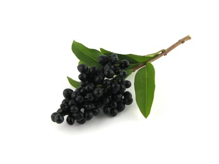 black fruits on the twig of the hedge