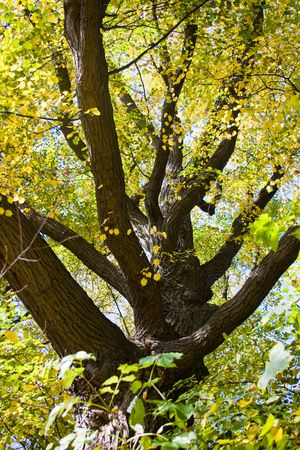 Large tree branches with colorful autumn leaves