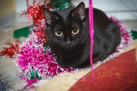 Black cat at Christmas under the Christmas tree. Domestic cat lies under the Christmas tree