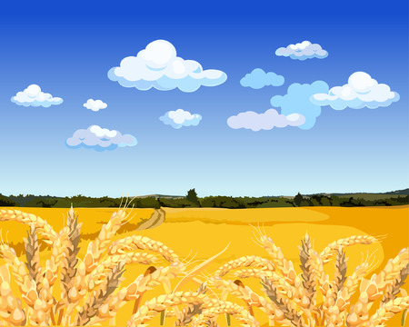 Landscape yellow field with wheat