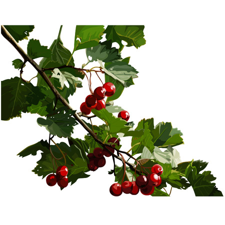 viburnum: red viburnum berries on a branch Illustration