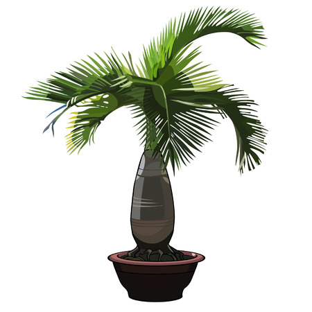 exotica: palm tree Hyophorbe  in a pot