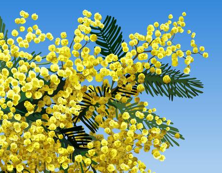 mimosa: mimosa flower