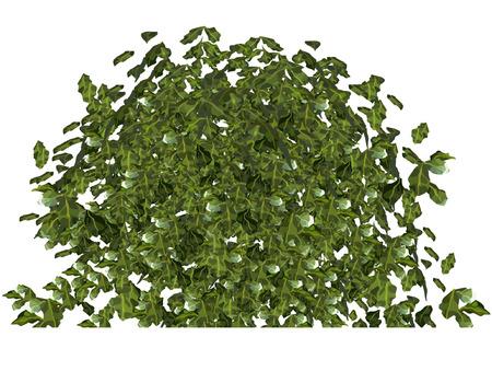 shrub: plant green bushy shrub
