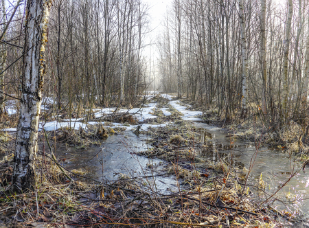thawed: The forest road in a young birchwood is covered with yet not thawed snow and the pool covered with morning ice from thawed snow.