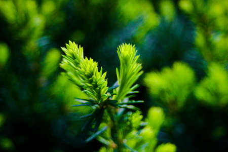 spruce: Spruce Leaves