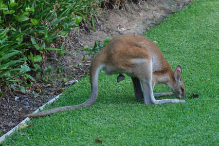Grazing Wallaby, Whitsunday Resort, Queensland, Australia
