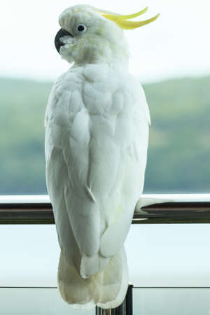 Sulphur-crested Cockatoo, in Hamilton Island, Queensland, Australia