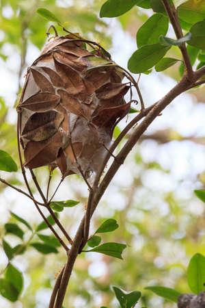 Green Weaver Ant (Oecophylla smaragdina), Whitsunday Island, Queensland, Australia