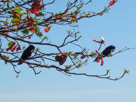 Black-Cockatoos at the Strand -  Genus Calyptorhynchus, Townsville, Queensland, Australia