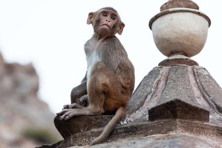 Rhesus macaque (Macaca mulatta), in Hanuman Temple, Jaipur, Rajasthan, India