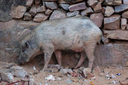 Pig in Hanuman Temple, Jaipur, Rajasthan, India