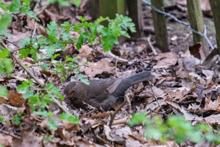 Eurasian Blackbird (Turdus merula), Botanical Garden, Belfast, Northern Ireland, UK