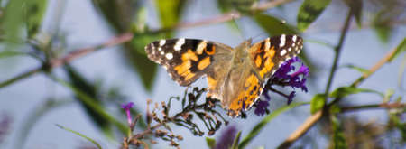 perseverance: American Lady (vanessa virginiensis) Butterfly photographed in Pender County, North Carolina.  This butterfly has a wounded wing, great symbol of hope and perseverance.  Stock Photo