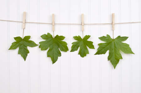 Maple Leaves Hanging
