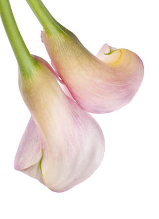 Radiant Pink Calla Lily Background on White.