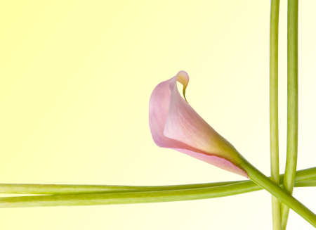 Radiant Pink Calla Lily Border Image with Stems and Flower.