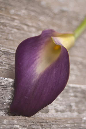 Purple Calla Lily on a Rustic Old Piece of Wood. Stock Photo - 7515010