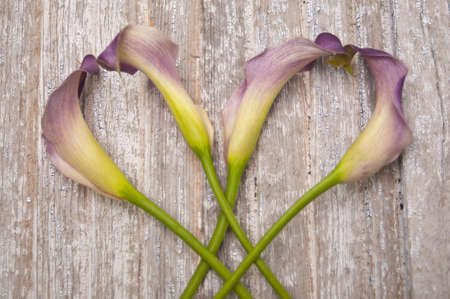 Purple Calla Lily on a Rustic Old Piece of Wood.