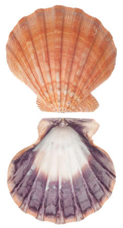 Sea Shell Front and Back Pink and Purple Scallop Isolated on White  photo