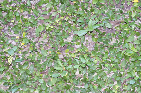 Green Leaves on Wall Abstract Background Texture. photo