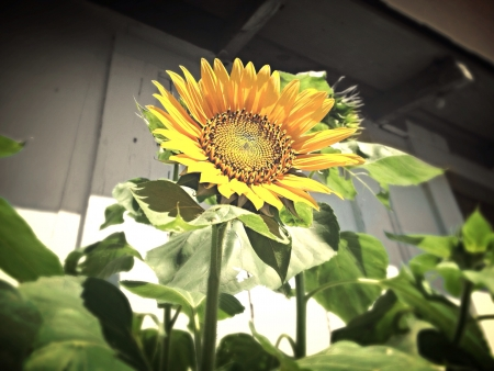 Close up of a sunflower with a rustic shed behind it.