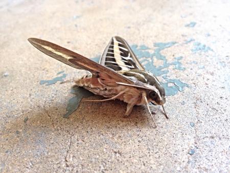 Tan and black moth