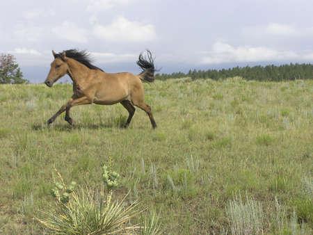 Spanish Mustangs in Gallop Stock fotó - 241857
