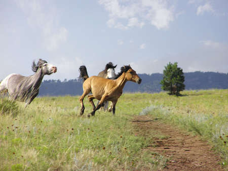 Three Spanish Mustangs in Gallop