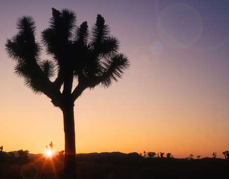 joshua: Joshua Tree silhouette Stock Photo