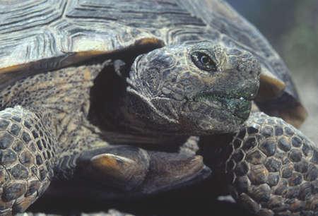 land shell: Desert Tortoise