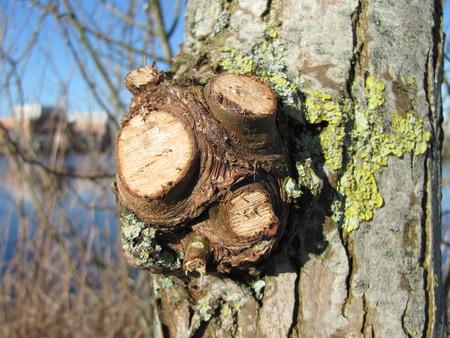 sauce: Willow tronco Foto de archivo