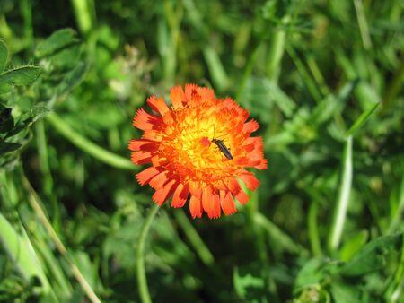 hawkweed: Orange hawkweed with insect