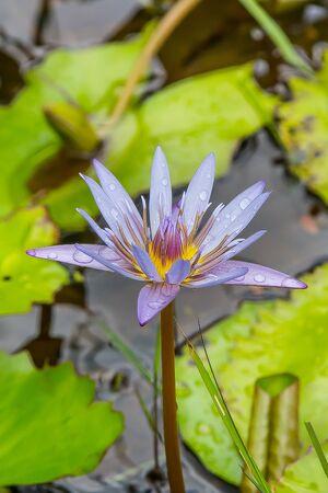 mauritius: lily Mauritius