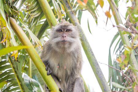 mauritius: Mauritius Monkey