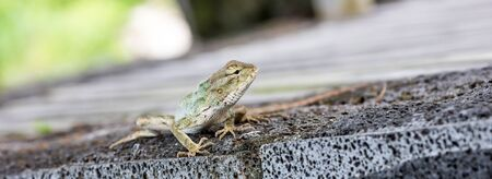 mauritius: Mauritius Lizard Gecko